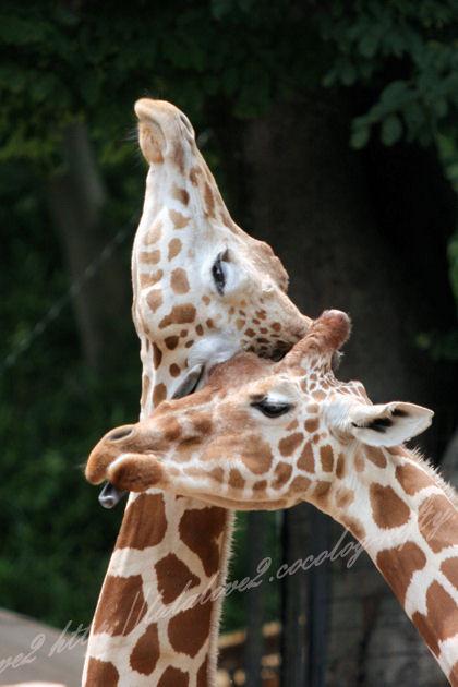 Giraffes20130527