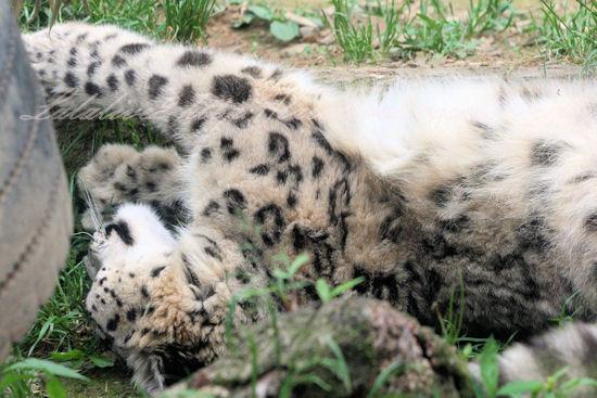 Snowleopard201305272