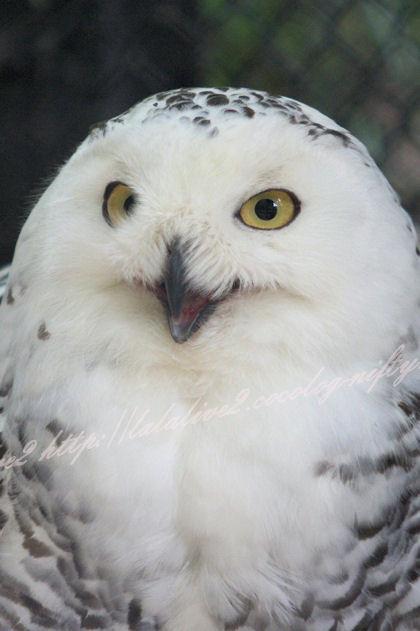 White_owl20130527
