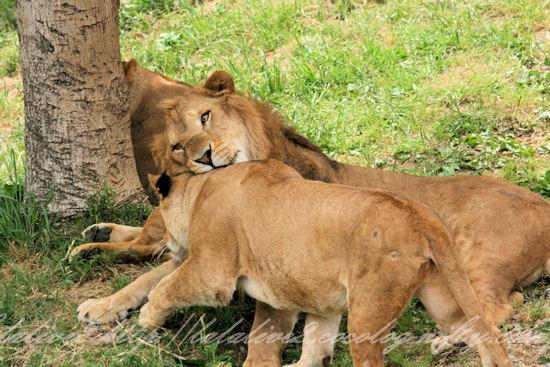 Lions20130527