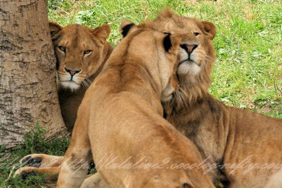 Lions201305271