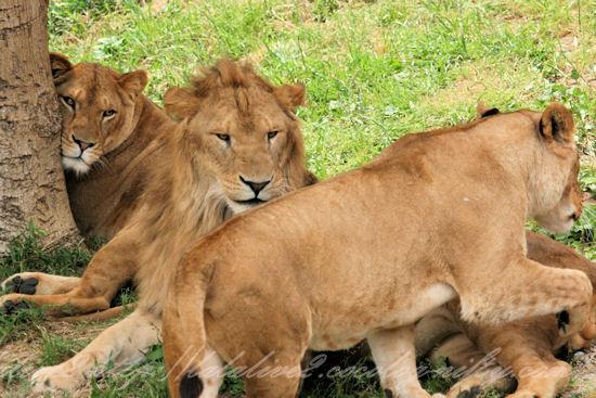 Lions201305272_2