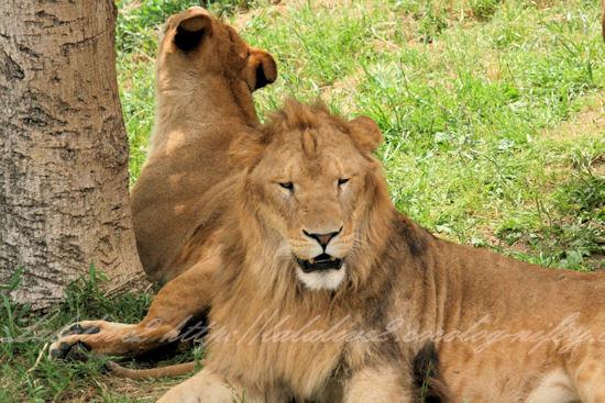 Lions201305273_2