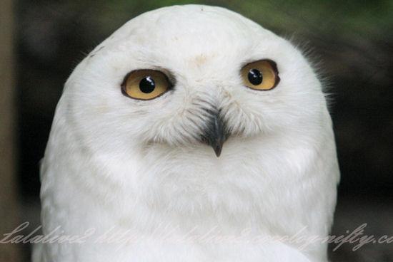 White_owl201305271