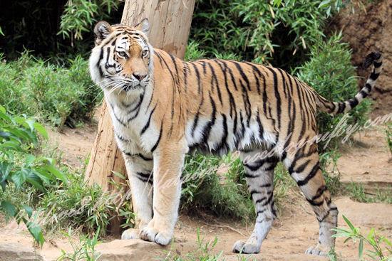 Tiger201305271
