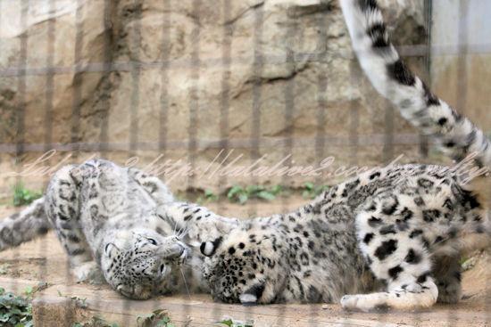 Snowleopards201305272