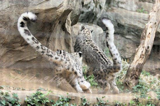 Snowleopards201305273