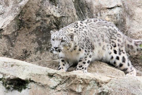 Snowleopards201305276