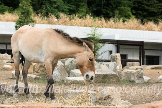 Asian_wild_horse20130527