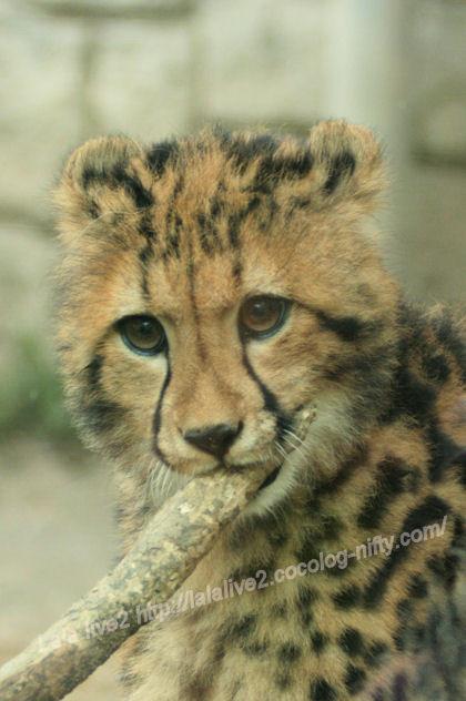 Cheetah20130527