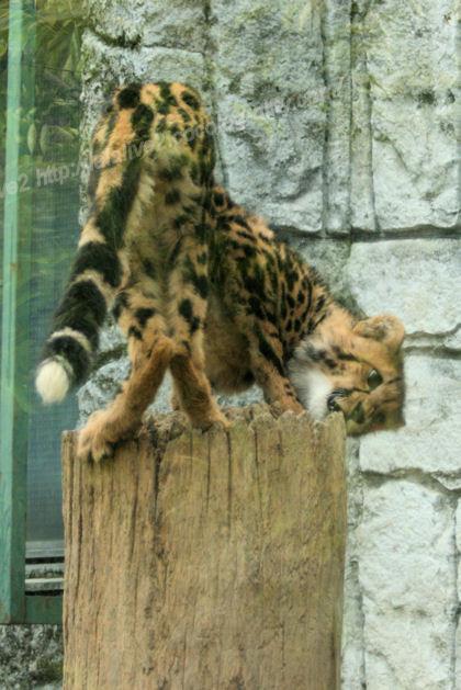 Cheetah201305271_2