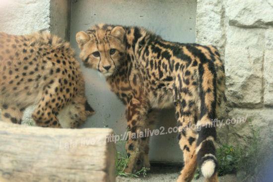 Cheetah201305272