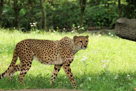 Cheetah201305273_3