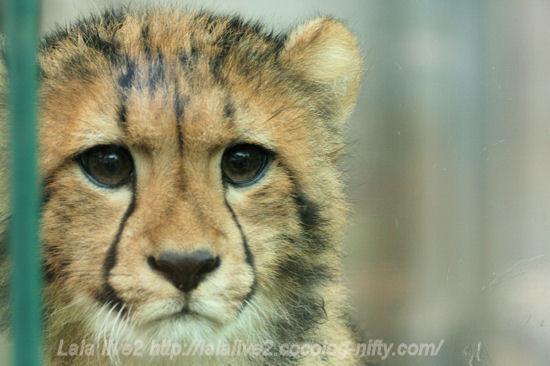 Cheetah201305275