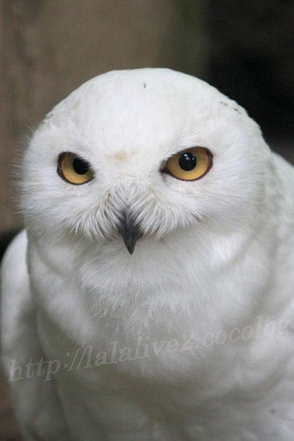 White_owl201305272