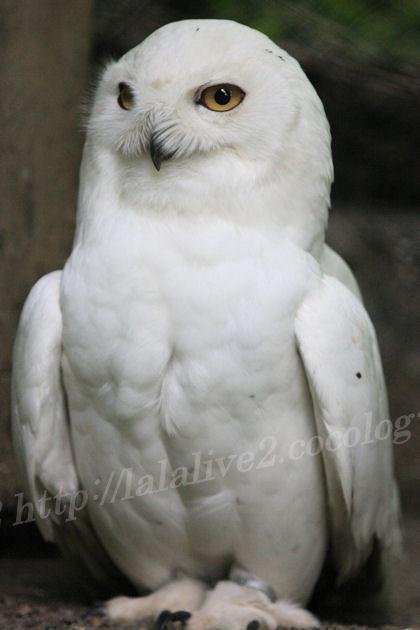 White_owl201305274