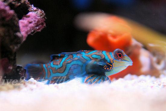 Mandarinfish20130711