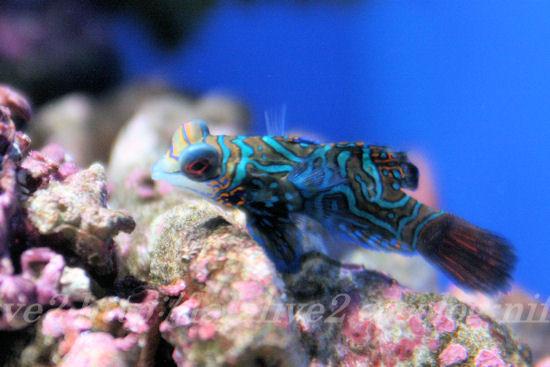 Mandarinfish201307111_2