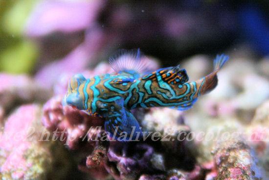Mandarinfish201307112_2