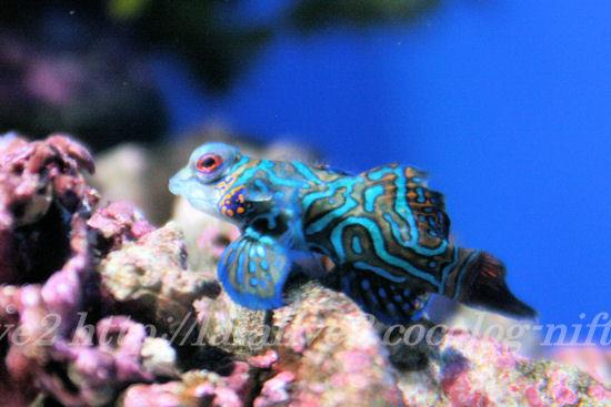 Mandarinfish201307113