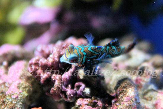 Mandarinfish201307114_2