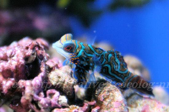 Mandarinfish201307118
