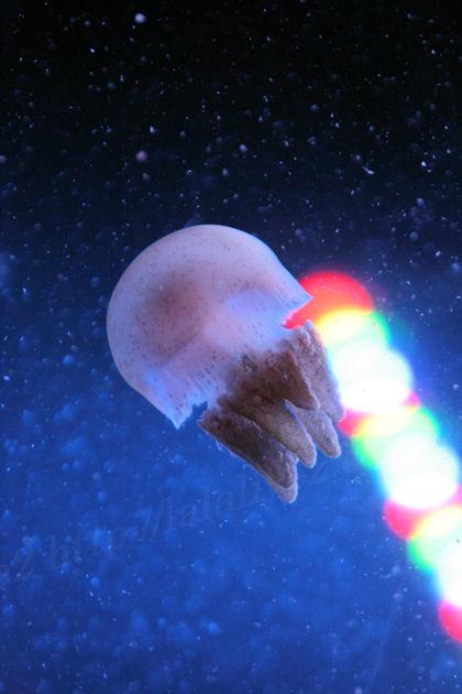 Jellyfishbrown20130711