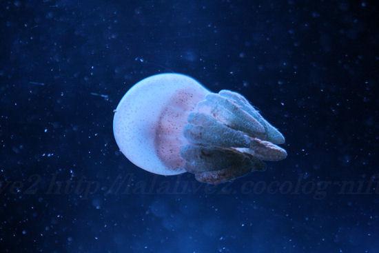 Jellyfishbrown201307111