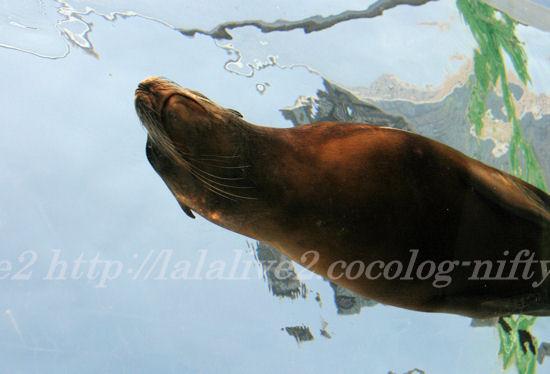Sea_lion201307115