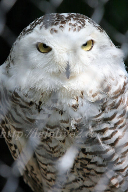 Whiteowl201308223