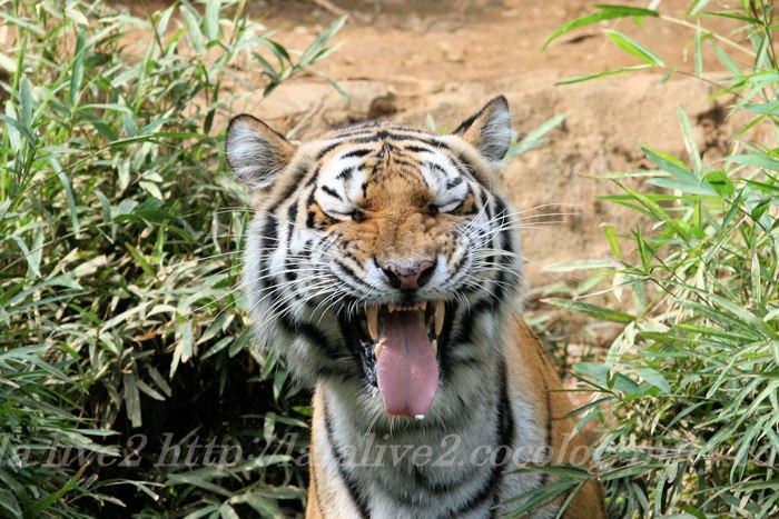 Tigershizuka20130822