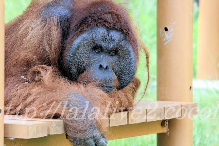Orangutan2013