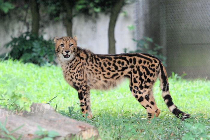 Cheetah20130822