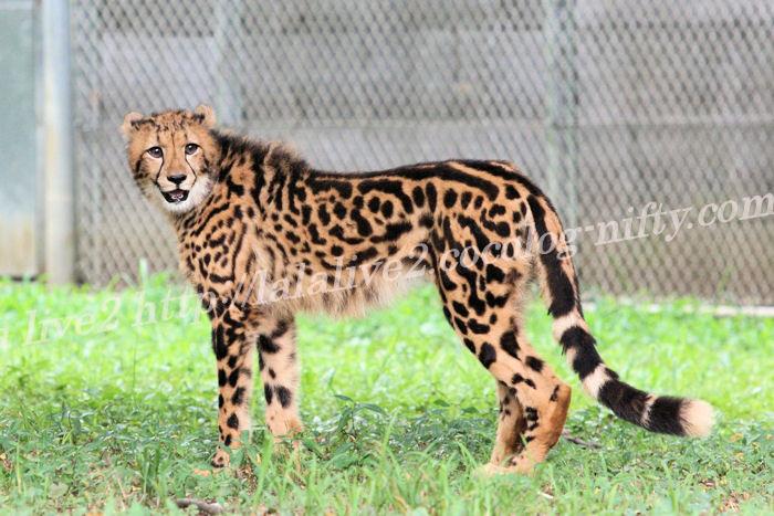 Cheetah201308221