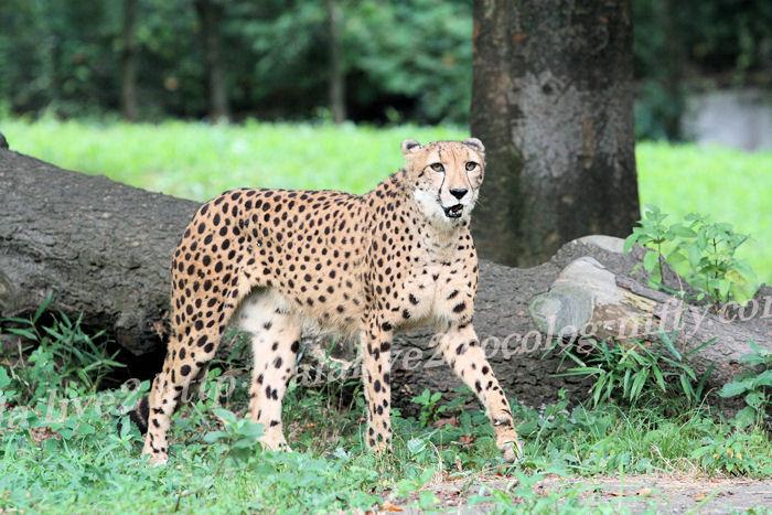 Cheetah201308223