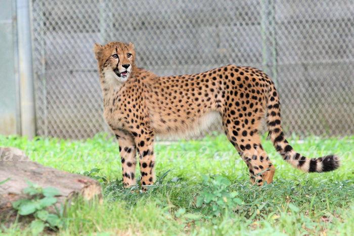 Cheetah201308225