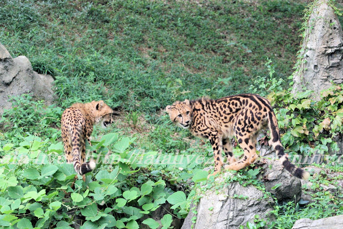 Cheetah201308226_3