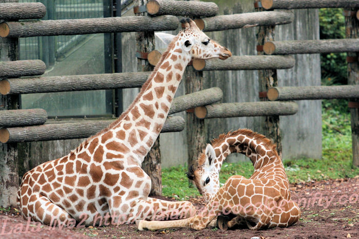 Giraffes20130822