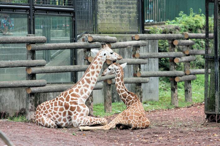 Giraffes201308221
