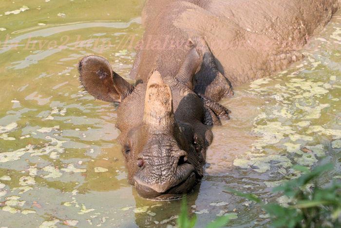 Rhinoceros1