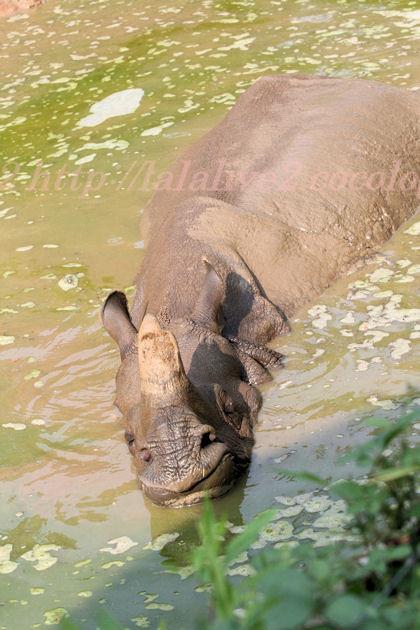 Rhinoceros2