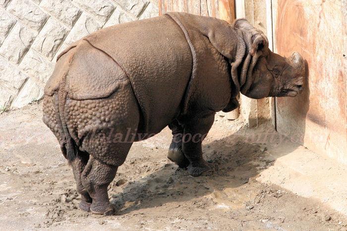 Rhinoceros_2