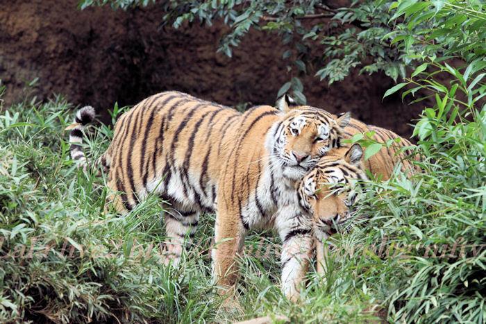 Tigers20130822
