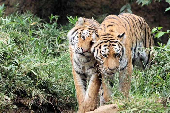 Tigers201308221