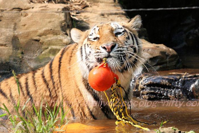 Tiger201308222