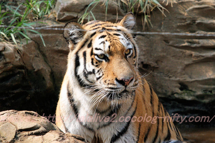 Tiger201308223