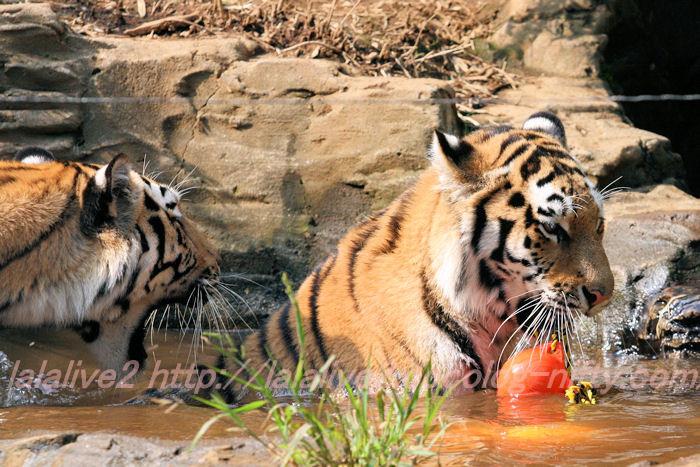 Tiger201308224