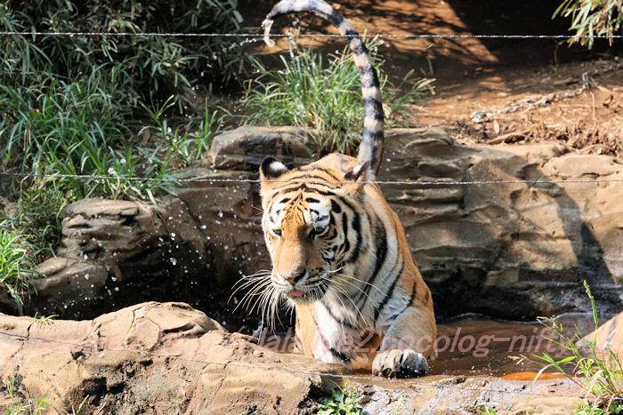 Tiger201308226