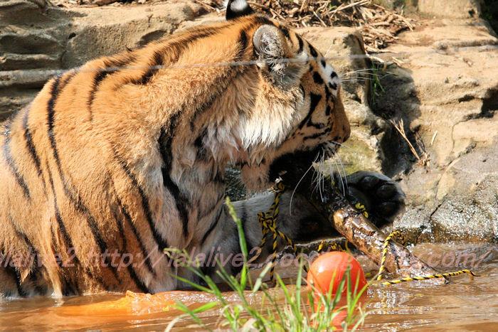 Tiger201308227