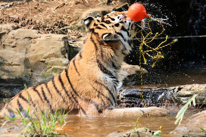 Tigers201308221_3
